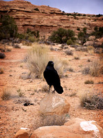 The Raven of Canyonlands