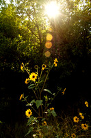 Sunflower Light